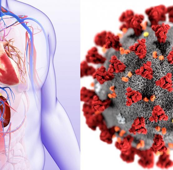 Կորոնավիրուսը բացի թոքերից վնասում է նաև հետևյալ օրգանները